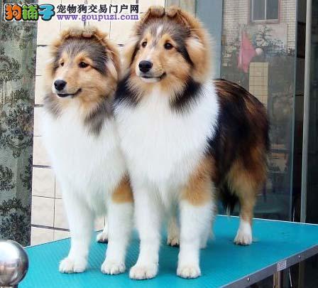 喜乐蒂郑州最大的正规犬舍完美售后一宠一证视频挑选