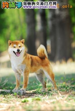 犬舍直销品种纯正健康柴犬欢迎爱狗人士上门选购