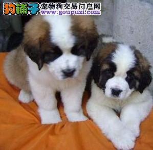 郑州出售极品圣伯纳幼犬完美品相终身售后送货