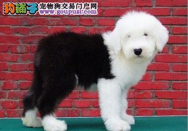 极品古代牧羊犬出售,品质第一价位最低,专业信誉服务