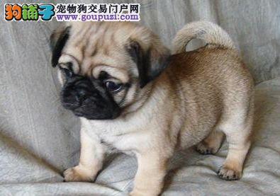 成都小型犬巴哥犬成都哪里有卖巴哥犬成都巴哥价格