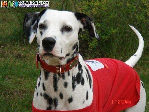 上海精品高品质斑点狗宝宝热销中CKU认证绝对信誉保障