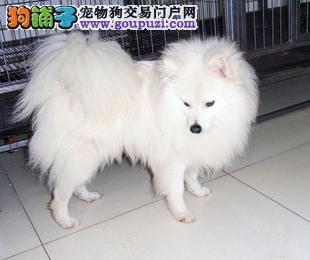 宜宾热卖银狐犬多只挑选视频看狗价格美丽品质优良