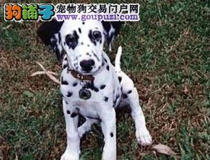 岳阳出售斑点狗公母都有品质一流期待您的来电咨询