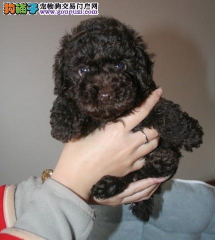 长沙出售茶杯犬颜色齐全公母都有优惠出售中狗贩子勿扰