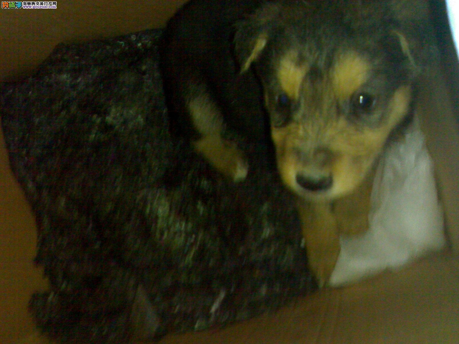 吉林/售自家饲养小杜宾犬。有图,超可爱![两个月公母全有]