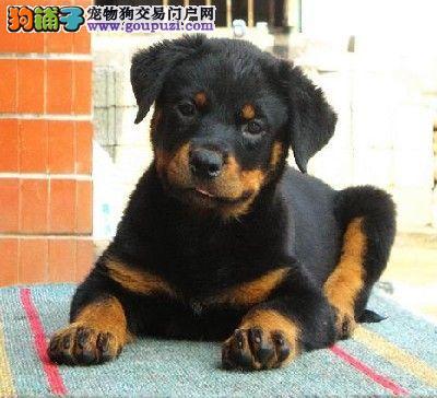 杭州绝对忠诚于主人的罗威纳幼犬正在火热甩卖中