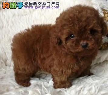 深圳深红色娃娃的孩子纯种茶杯/小玩具泰迪熊出售了