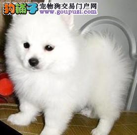 银狐犬福州CKU认证犬舍自繁自销微信咨询欢迎选购