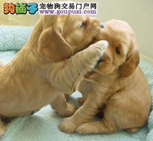 出售可爱可卡幼犬,保健康包纯种签质保协议哦