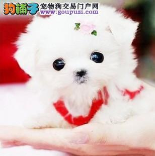 基地直销茶杯犬幼犬保纯种健康签订协议