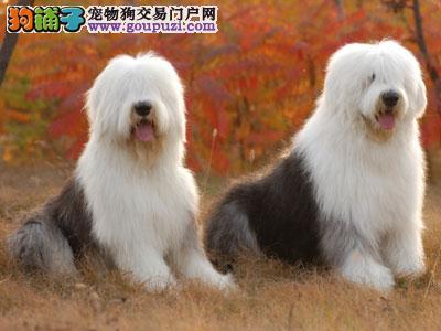 热销多只优秀的纯种西安古代牧羊犬最优秀的售后