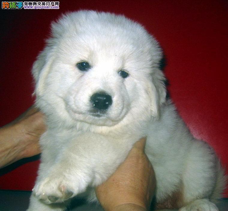 出售纯种大白熊犬,公母都有 实体店 欢迎上门选购