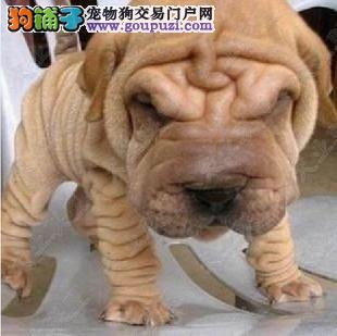 完美品相血统纯正沙皮狗出售购犬可签协议