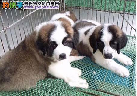 自家狗场繁殖圣伯纳幼犬出售中