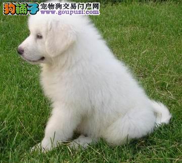 可爱的大白熊找新家了