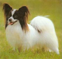 来自聪明可爱的蝴蝶犬出神3个月保证健康