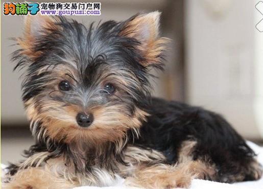 出售约克夏幼犬品相超棒 可爱有佳