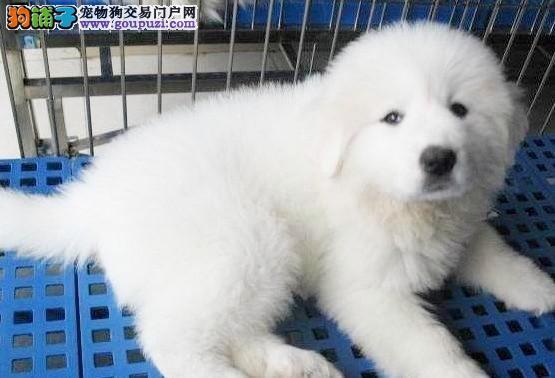精品大白熊幼犬一对一视频服务买着放心签署质保合同