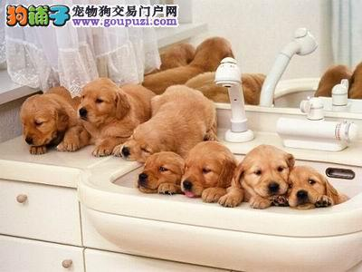 正规犬舍高品质金毛带证书微信看狗可见父母
