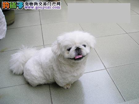 出售多只优秀的京巴石家庄可上门欢迎爱狗人士上门选购