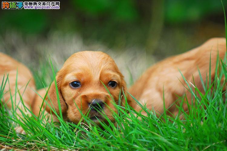 高品质赛级可卡幼犬终身保障质保三年