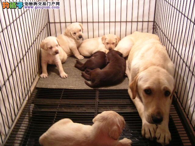大连正规狗场低价出售拉布拉多犬 可无条件退款或调换