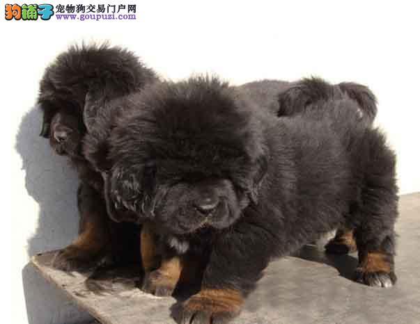 CKU注册犬舍出售大头铁包金藏獒幼犬,多只可选