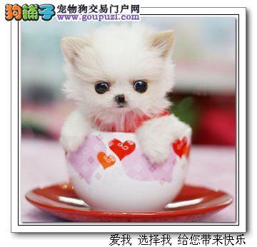精品茶杯犬小体犬健康质保签协议送货上门