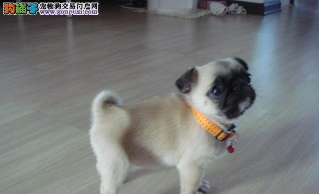 铜川/专业繁殖纯种美系可爱的宝宝八哥幼犬出售[三个月公母全有]