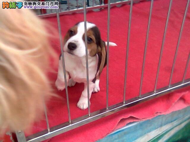 出售纯种的比格幼犬品相非常好可上门看狗狗