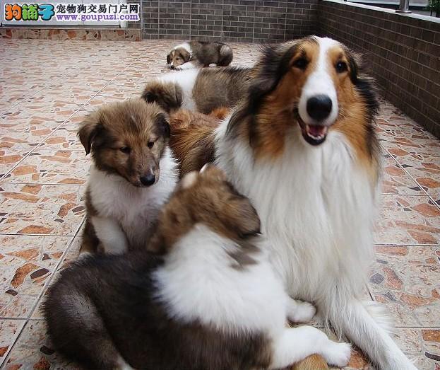 赛级苏格兰牧羊犬宝宝 品质极佳品相超好 提供养狗指导