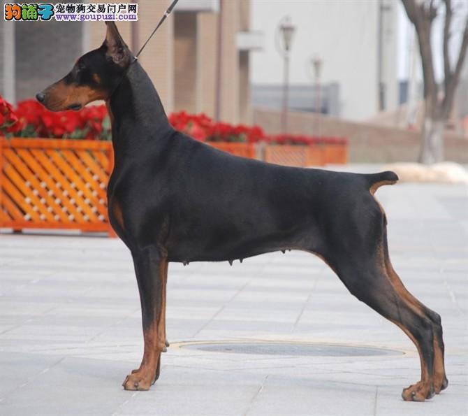 丽江出售颜色齐全身体健康杜宾犬我们承诺终身免费售后