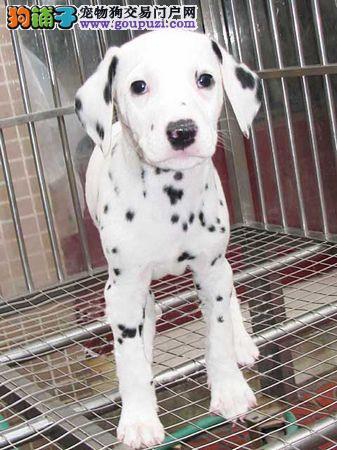 石家庄出售颜色齐全身体健康斑点狗市内免费送货