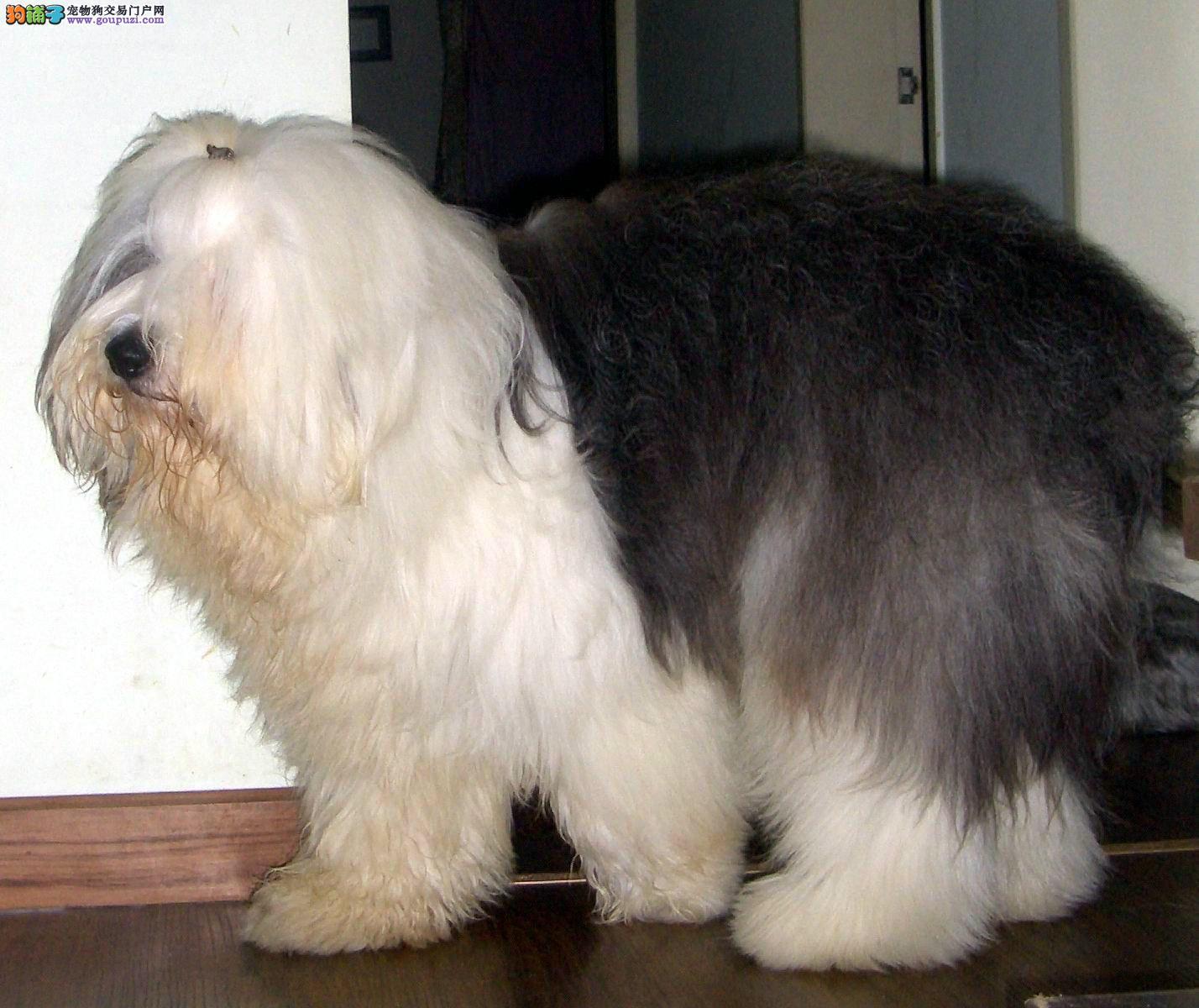 无锡出售全白头古代 血统纯种古牧幼犬 多只挑选