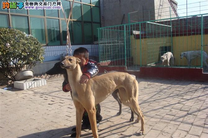 沧州/现有几十条格力犬低价出售[11个月公母全有]