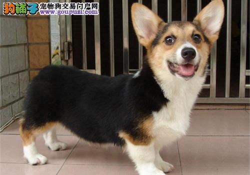 权威机构认证犬舍 专业培育柯基幼犬价格美丽品质优良