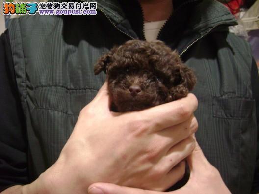 极品巧克力色茶杯体可爱小泰迪乖巧茶杯犬出售
