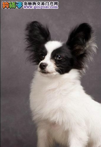 极品纯正的呼和浩特蝴蝶犬幼犬热销中喜欢微信咨询