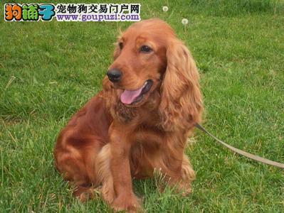 出售纯种可卡犬幼犬 漂亮大耳朵英国可卡犬纯种健康