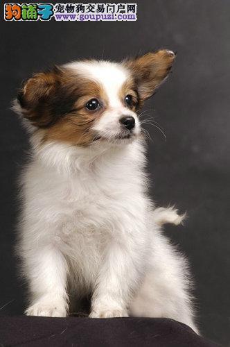 顶级 蝴蝶犬。犬舍直销、让顾客买的优惠放心和纯种。