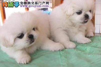 出售健康纯种的京巴幼犬。