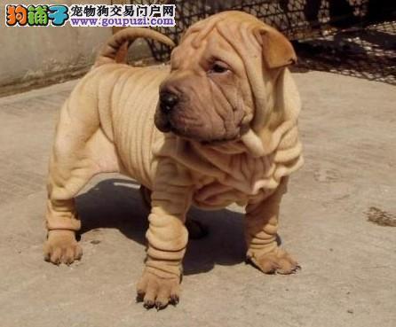 重庆CKU认证犬舍出售高品质沙皮狗微信咨询看狗