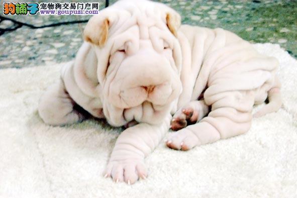 家养沙皮狗出售,纯度第一品质第一,质保健康90天