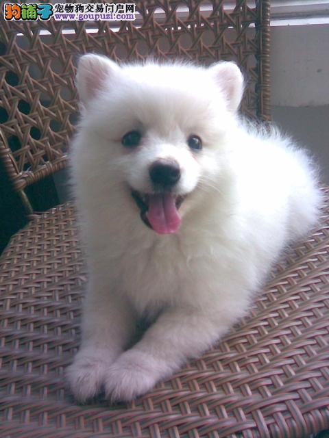 极品纯正的郑州银狐犬幼犬热销中微信看狗可见父母