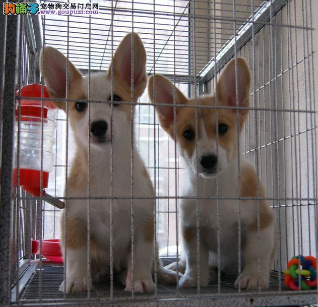 哈尔滨出售威尔士柯基 幼犬