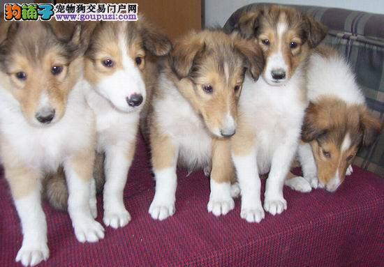狗场直销赛级血统高品质苏幼犬可签质保