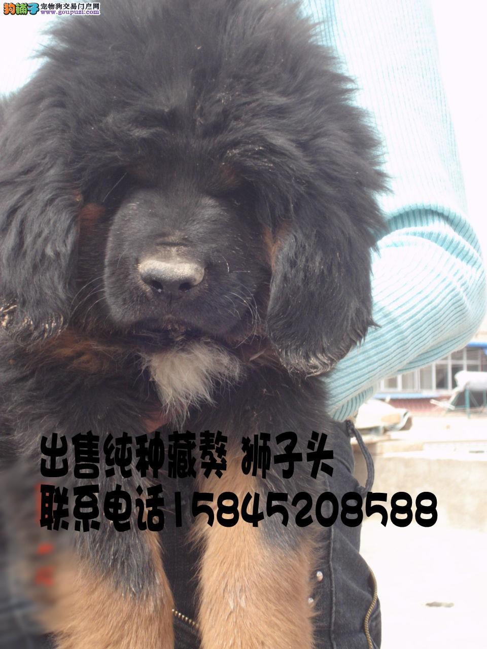 藏獒/出售藏獒幼犬小公极品欢迎来家看狗[一个月公狗]
