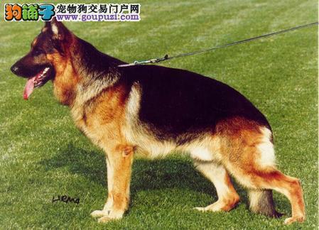 自家繁殖的纯种德国牧羊犬找主人欢迎爱狗人士上门选购