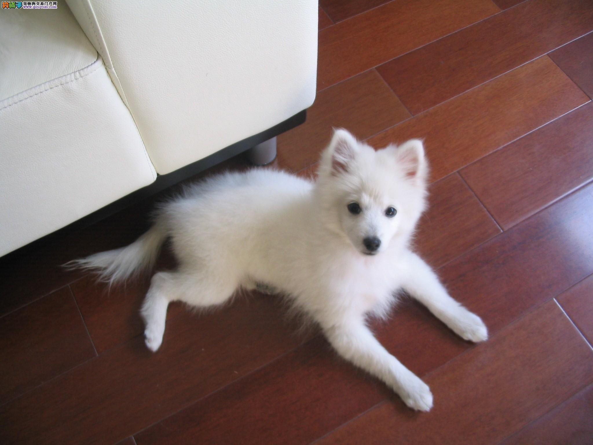 养殖基地出售纯种银狐幼犬(包品种健康)可视频
